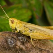 Magnificent grasshopper