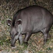 Magnificent tapir