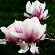 Amazing magnolia