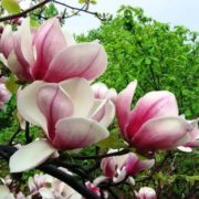 Charming magnolia