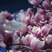 Attractive magnolia