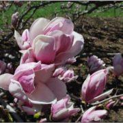 Majestic magnolia