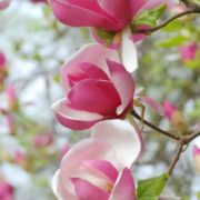 Wonderful magnolia