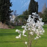Great magnolia
