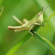 Majestic grasshopper