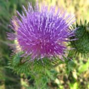 Majestic thistle