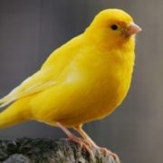 Many pet canaries have bright yellow feathers