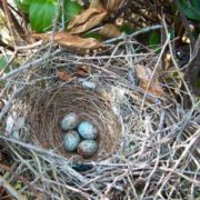Mockingbird's nest