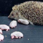 Mother hedgehog and her babies