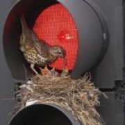 Nest in the traffic lights