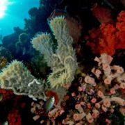 Niphates callista (Tube sponge)