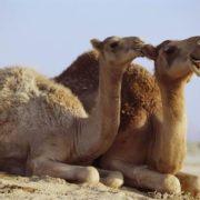 Pretty camels