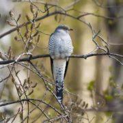 Pretty cuckoo