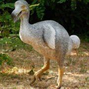 Pretty dodo