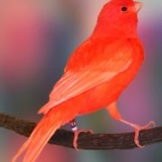 Red Domestic Canary