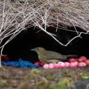 Satin bowerbird's nest