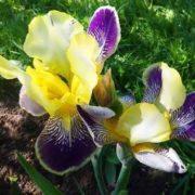 Stunning irises