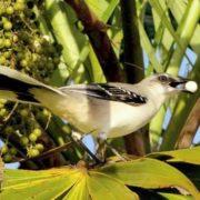 Stunning mockingbird