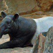 Stunning tapir