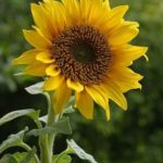 Sunflowers – Golden Giants