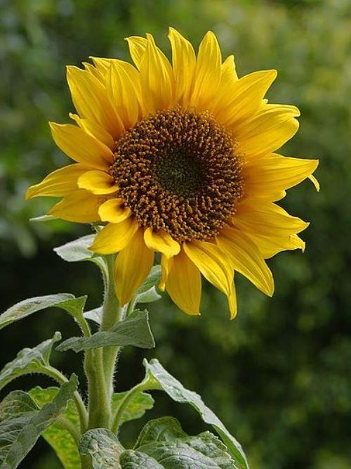 Sunflowers - Golden Giants