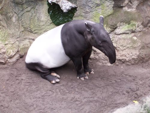 Tapir – Shy Cousin of the Horse and Rhino