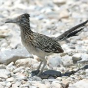 The greater roadrunner