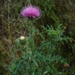 Thistle – prickly plant