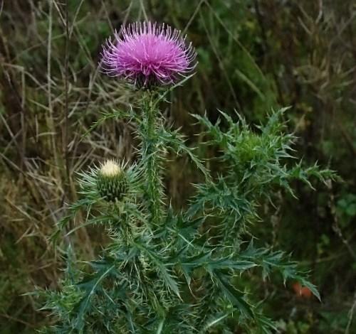 Thistle – prickly plant