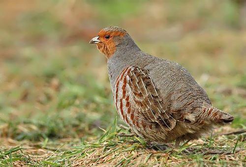 State bird - Willow ptarmigan
