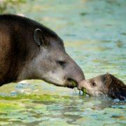 Wonderful tapirs