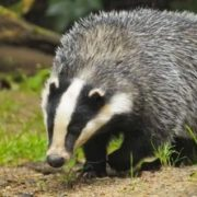 Gorgeous badger
