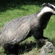 Charming badger