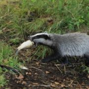 Attractive badger