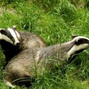 Pretty badgers