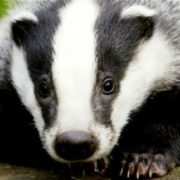 Wonderful badger