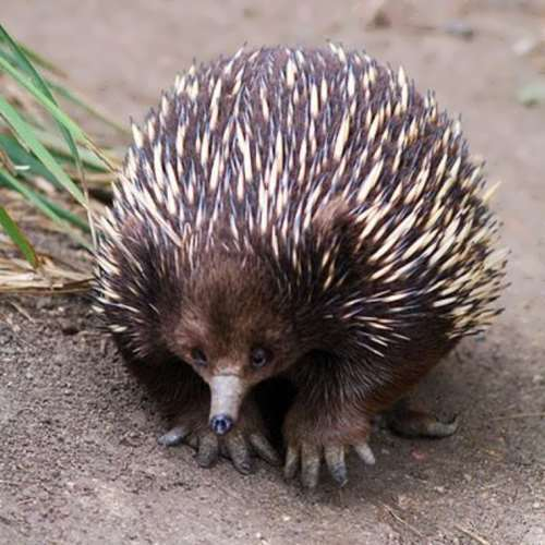 Echidna – unusual animal