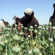 Afghan farmers in the poppy field