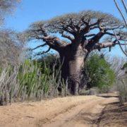 Amazing baobab