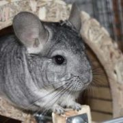 Amazing chinchilla
