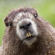 Amazing groundhog