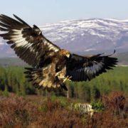Aquila chrysaetos in flight