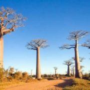 Attractive baobabs