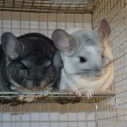 Attractive chinchillas
