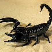 Attractive scorpion