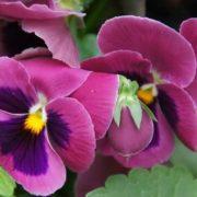 Attractive violets