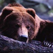 Awesome bear