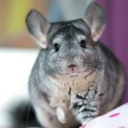 Awesome chinchilla