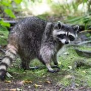 Awesome raccoon