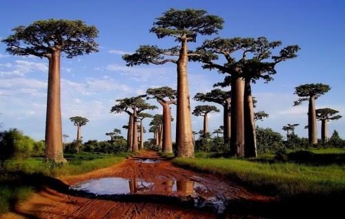Baobab - Upside Down Tree